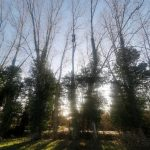 reduce 500 metres of Poplar trees