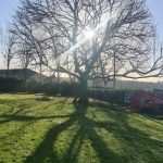The Common Ash tree is becoming less common